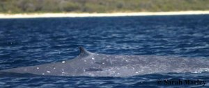 Note the white markings around the dorsal fin on this blue whale