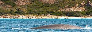 Pygmy blue whale migrating south through Geographe Bay